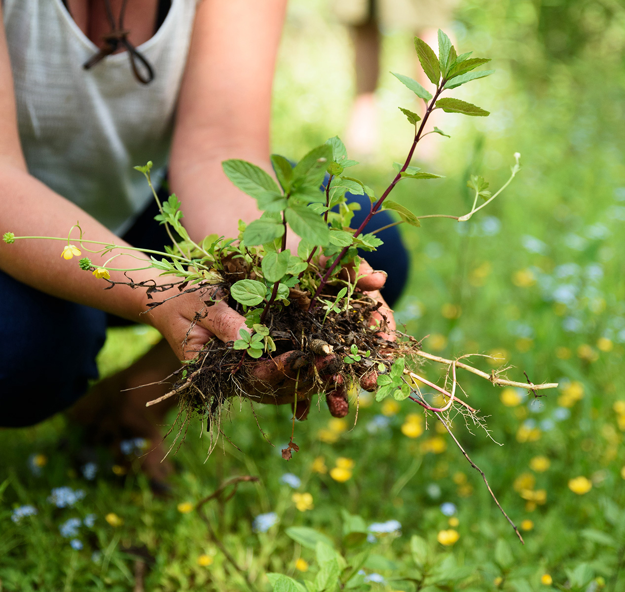 Person holding wild mint plant removed from the ground.